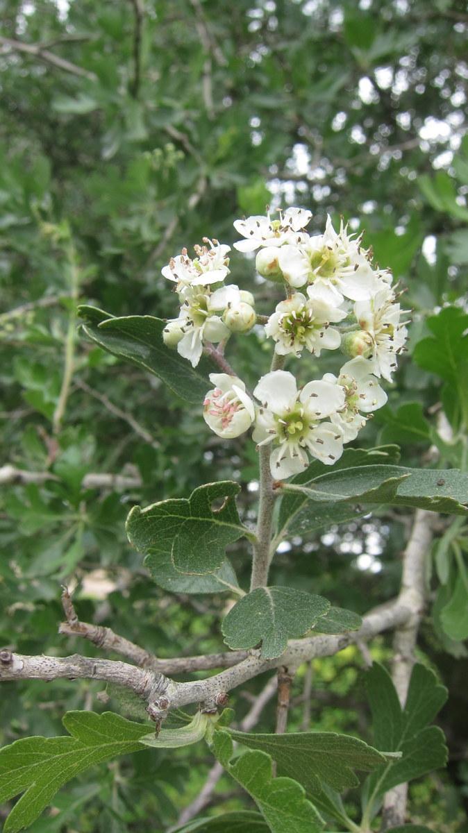 פרח של עץ העוזרד. שמענו שהפירות שלו להיט בשוק של דמשק.